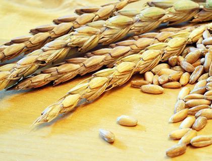 Urgetreide als Alternative zu ertragsoptimierten Getreidesorten